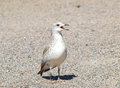 Seagull calling parents single baby on gravel at summer in sunlight Stock Image