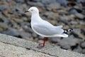 Seagull in Akaroa harbor, New Zealand Royalty Free Stock Photo