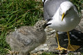The Seagull and chick Stock Images