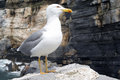 Seagull on cliff close up Royalty Free Stock Photo