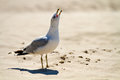 Seagull close up chirping on a beach Royalty Free Stock Photography