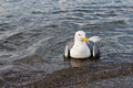 Seagull close up swimming in sea water Stock Photography