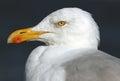 Seagull closeup Royalty Free Stock Photo