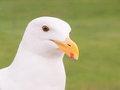 Seagull closeup a lone against green grass background Royalty Free Stock Photo