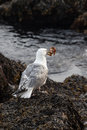 Seagull with crab near ocean Royalty Free Stock Photography