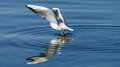 Seagull dancing on water Royalty Free Stock Photo