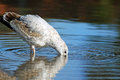 Seagull dipping his beak into the water looking for food Royalty Free Stock Photos