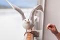 Seagull feeding Royalty Free Stock Photo