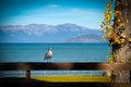 Seagull on a fence perching wooden lake tahoe california usa Stock Images