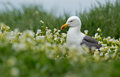 Seagull between a field with flowers Stock Images