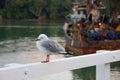 Seagull, fishing boat at Mangonui Wharf, summer morning, New Zealand Royalty Free Stock Photo