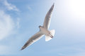 Seagull in flight against the blue sky Stock Photography