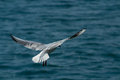 Seagull in flight beautiful photographed over the sea surface at winter afternoon day Stock Photos