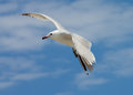 Seagull in flight beauty isolated on blue cloudy sky background outdoors Royalty Free Stock Image