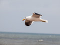 Seagull in flight at cape cross namibia Stock Photography