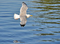 Seagull flight over a blue water Stock Photography