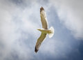 Seagull in flight sharp and crisp image of a Stock Photography