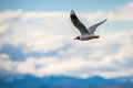 Seagull in flight. Shevelev. Royalty Free Stock Photo