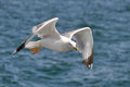 Seagull fly over sea Stock Images