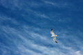 A seagull flying Royalty Free Stock Photography