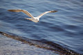Seagull flying above sea wave Stock Photo