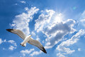 Seagull flying against blue cloudy sky with brilliant sun Royalty Free Stock Photography