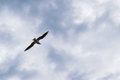 Seagull flying against blue dramatic cloudy sky Royalty Free Stock Photo