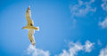 Seagull is flying in the blue sky with clouds Royalty Free Stock Photo