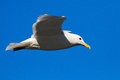 Seagull flying in the blue sky and looking for food Royalty Free Stock Images