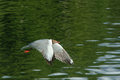 Seagull the is flying close to the water Royalty Free Stock Photos