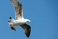 Seagull flying with fish to be caught holding Royalty Free Stock Photo