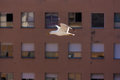 Seagull flying in front of windows Stock Image