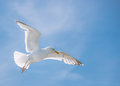 Seagull flying high in summer blue sky Royalty Free Stock Photography