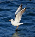 Seagull Flying and landing Royalty Free Stock Photo