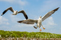 Seagull flying one above the sea Royalty Free Stock Images