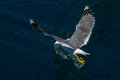 Seagull flying over Sea surface Royalty Free Stock Photo