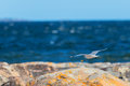 Seagull flying over the shoreline coast of baltic sea on a sunny day Stock Photo