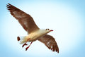 A seagull flying. Seagulls fly in the blue sky. Royalty Free Stock Photo