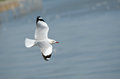 Seagull flying in the sky alone Royalty Free Stock Photo