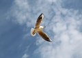 Seagull flying in the sky on a background of clouds Stock Photography
