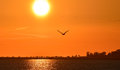 Seagull flying at sunset, silhouette. Royalty Free Stock Photo