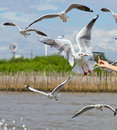 Seagull flying to take a food in blue sky Stock Photo