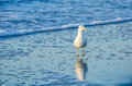 Seagull folly beach sc a lone fishing in the morning light along in Stock Photography