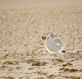 Seagull with food in beack cape cod west yarmouth beach close up of a on the beach his mouth Stock Image