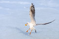 Seagull on frozen water Royalty Free Stock Photo