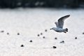 Seagull gliding over the lake Royalty Free Stock Photo
