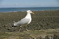 Seagull on harbour wall herring gull larus argentatus with shingle beach and sea in the background Stock Photo