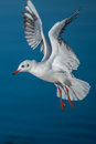 Seagull hovering over the blue sea Royalty Free Stock Image