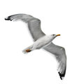 Seagull isolated on white background Stock Photography