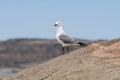 Seagull in lüderitz namibia Royalty Free Stock Photo